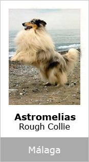 Astromelias