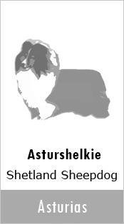 Asturshelkie Sheltie